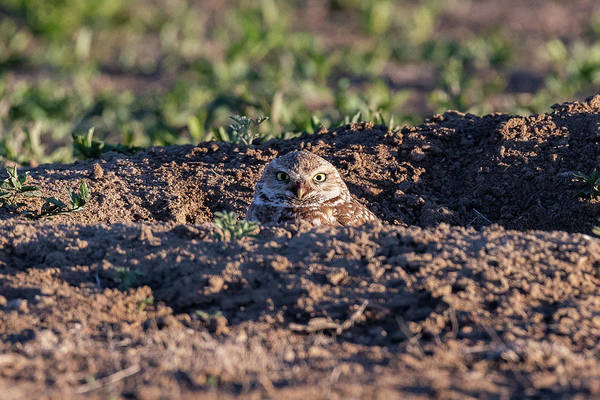 Photograph - Burrowing Owl Peeks Out And Scowls by Tony Hake