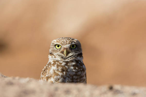 Wall Art - Photograph - Burrowing Owl Peers Over A Pile by Brenda Tharp
