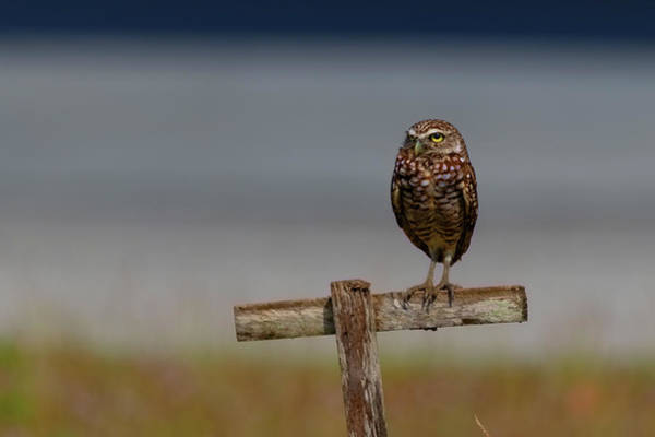 Photograph - Burrowing Owl Perched by Dan Friend