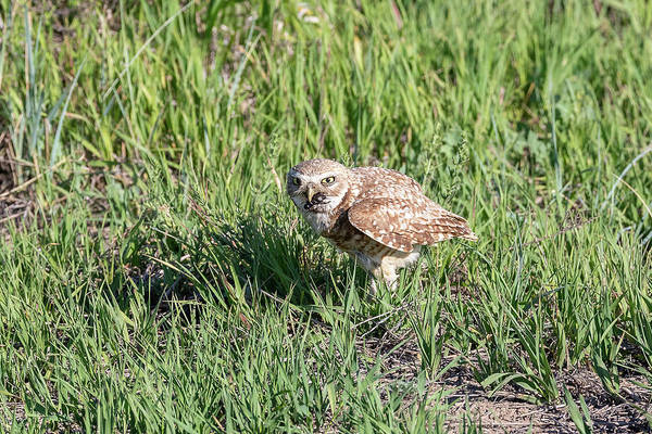 Photograph - Burrowing Owl With Its Catch by Tony Hake