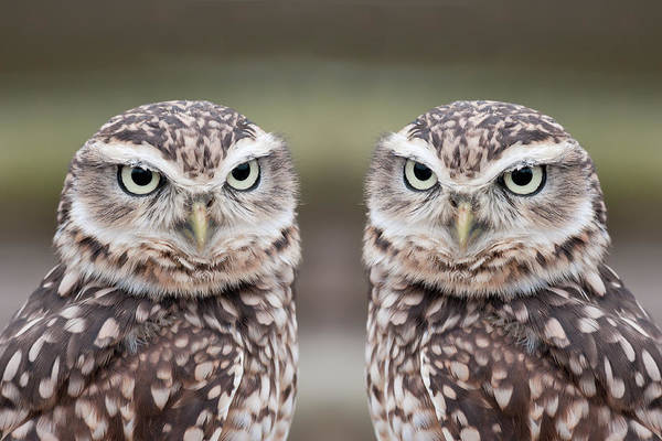 Owl Wall Art - Photograph - Burrowing Owls by Tony Emmett