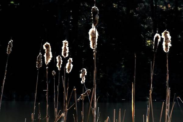 Photograph - Bursting Cattails by Jerry Sodorff
