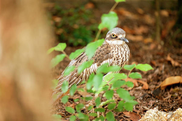 Photograph - Bush Stone-curlew by Rob D Imagery