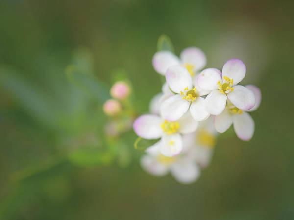Photograph - Bushrue Flowers by Alexander Kunz