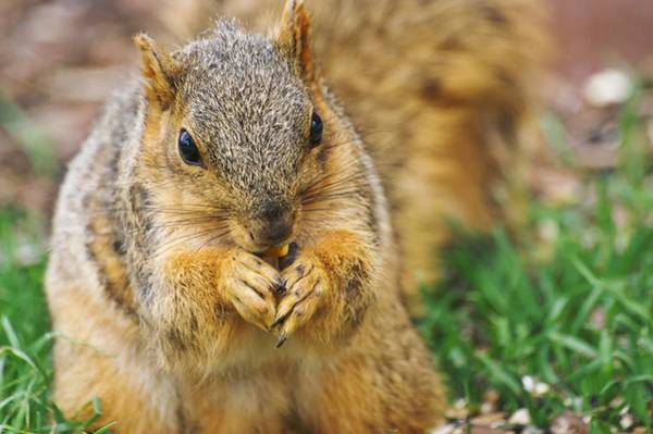 Photograph - Bushy Fox Squirrel by Don Northup