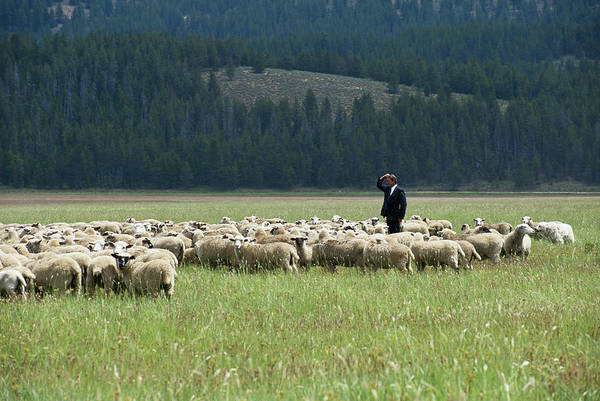Out Of Context Photograph - Businessman Standing In Herd Of Sheep by Steve Smith