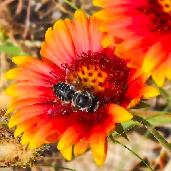 Photograph - Busy Bee 2  by Jeremy Guerin