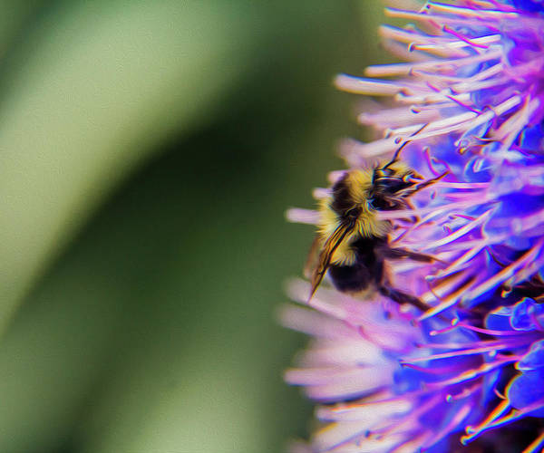 Photograph - Busy Bee by Stuart Manning