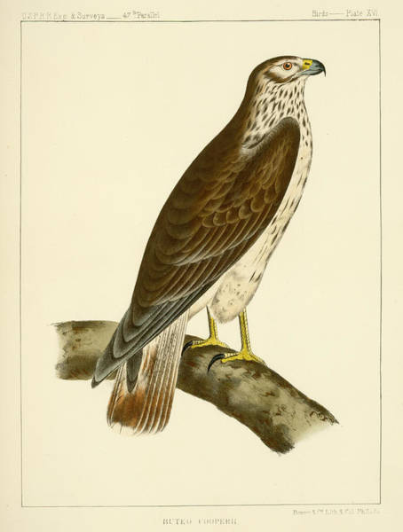 Mixed Media - Buteo Cooperi by Bowen and Co lith and col Phila