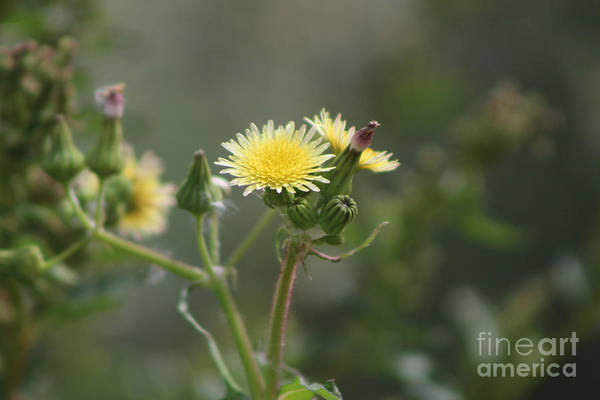 Photograph - Butter Yellow Milk Thistle At Sultan Sea by Colleen Cornelius