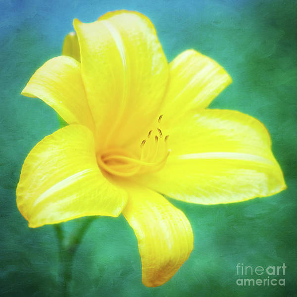 Photograph - Buttered Popcorn Daylily In Her Glory by Anita Pollak