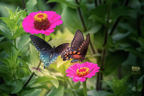 Photograph - Butterflies by Allin Sorenson