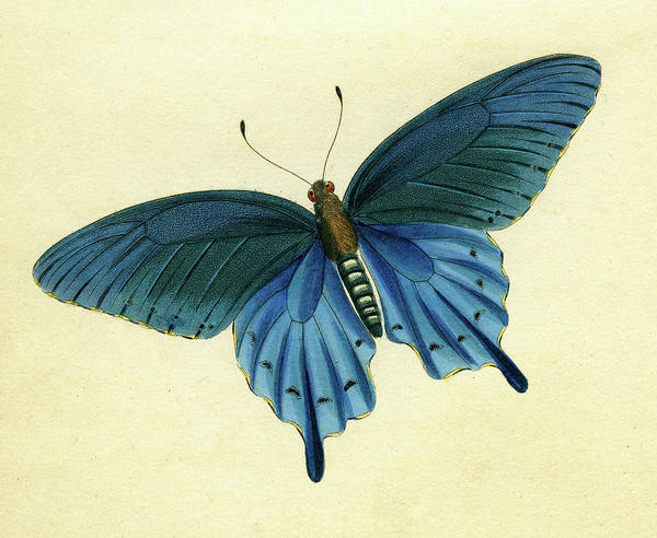 Mixed Media - Butterflies Detail  - Papilio Philenor by Unknown