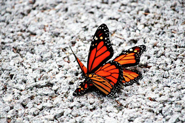 Photograph - Butterflies Mating by Cynthia Guinn