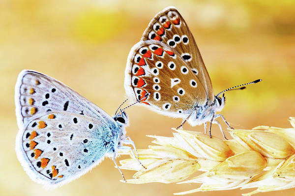 Insect Photograph - Butterflies by Photo By Cuellar