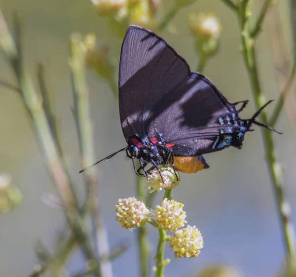 Photograph - Great Blue Hairstreak Butterfly 6264-102618-1cr by Tam Ryan
