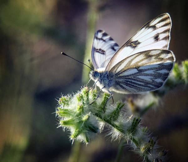 Photograph - Checkered White Butterfly 7932-042419 by Tam Ryan