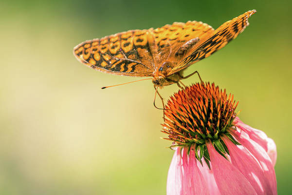 Photograph - Butterfly And Flower by Allin Sorenson