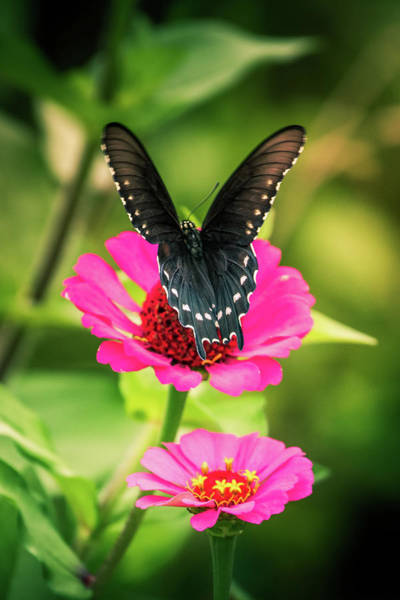 Photograph - Butterfly And Flowers by Allin Sorenson