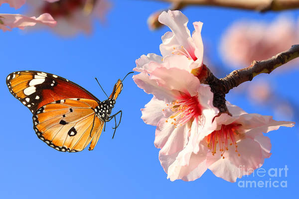 Wall Art - Photograph - Butterfly And Pink Almond Tree Blossom by Protasov An