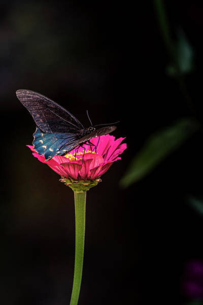 Photograph - Butterfly And Single Glower by Allin Sorenson