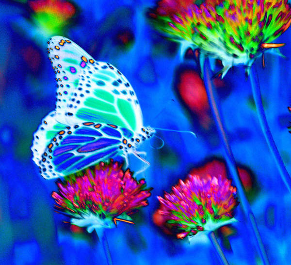 Photograph -  Butterfly Blue by Tom Kelly
