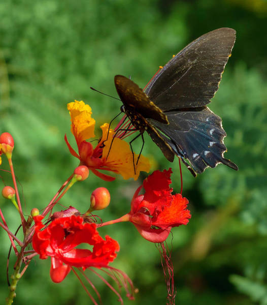 Photograph - Butterfly by Brian Kinney