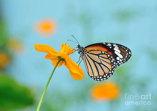Beautiful Butterfly Photograph - Butterfly Common Tiger And Flower In by Panda3800
