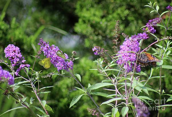 Photograph - Butterfly Couples In Garden by Karen Adams