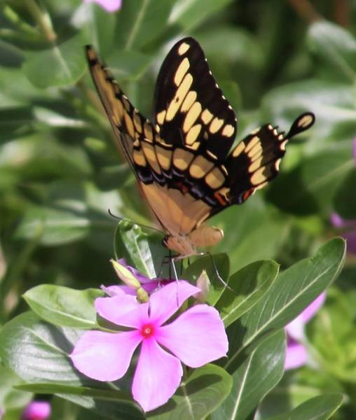 Photograph - Butterfly Drinking Nectar by Philip Bracco