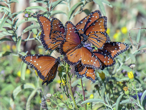 Photograph - Butterfly Gathering 3589-100918 by Tam Ryan