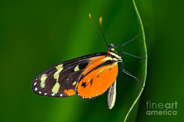 Beautiful Butterfly Photograph - Butterfly Heliconius Hacale Zuleikas by Ondrej Prosicky