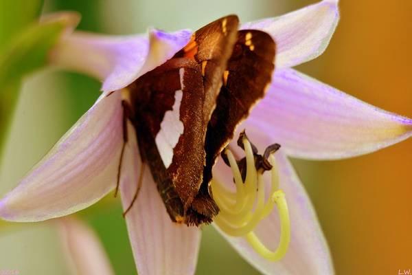 Photograph - Butterfly In Hosta Flower by Lisa Wooten