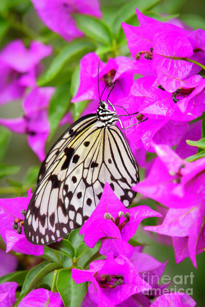 Photograph - Butterfly In The Pink by Sabrina L Ryan