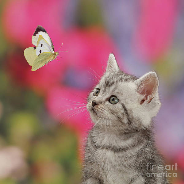 Photograph - Butterfly Kitty by Warren Photographic