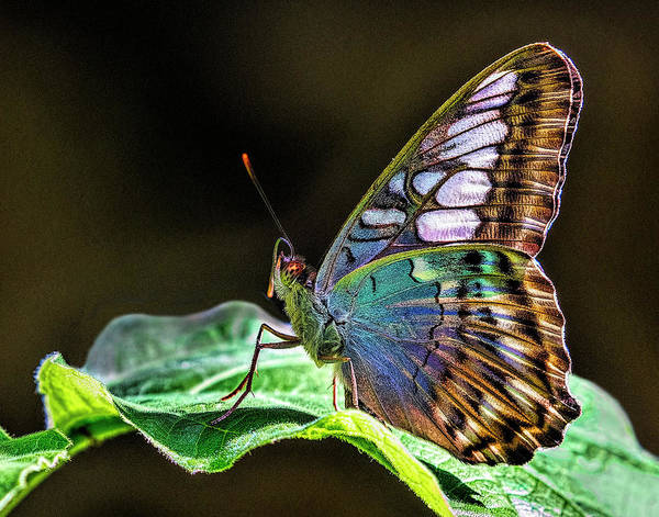 Wall Art - Photograph - Butterfly On A Leaf by Lowell Monke