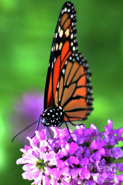 Wall Art - Photograph - Butterfly On A Nepeta by Verana Stark