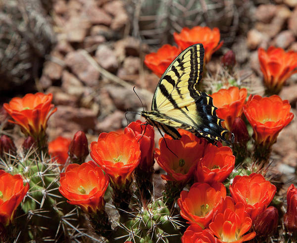 Chihuahua Photograph - Butterfly On Cactus Flower by Vallariee