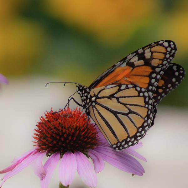 Wall Art - Photograph - Butterfly On Coneflower by Joan Han