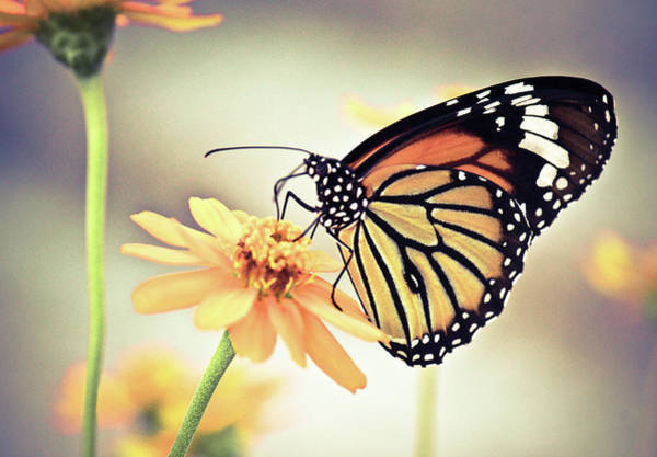 Insect Photograph - Butterfly On Flower by Sam Gellman Photography