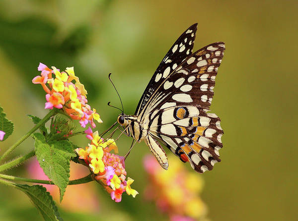 Insect Photograph - Butterfly On Flower by Zahoor Salmi