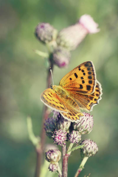Insect Photograph - Butterfly On Flowers by Kinga Wroblewska Photography