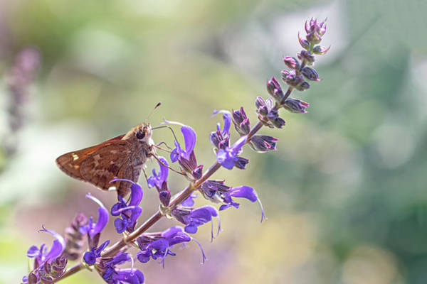 Wall Art - Photograph - Butterfly On Lavender by Sandi Kroll