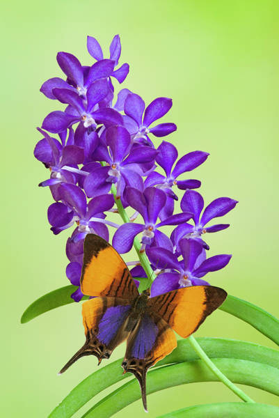 Wall Art - Photograph - Butterfly On Purple Orchids, Close-up by Gail Shumway
