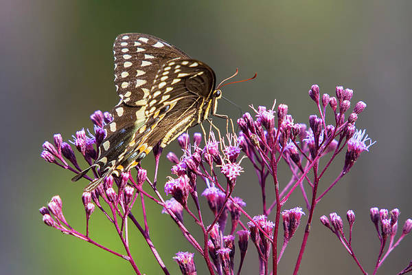 Photograph - Butterfly On Wild Flowers by Bob Decker