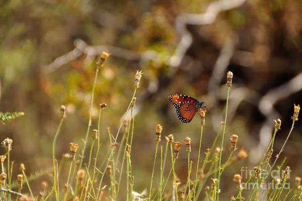 Single Flower Photograph - Butterfly On Wildflower In Joshua Tree by Bjul