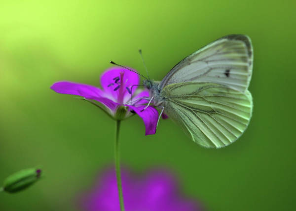 Wing Back Photograph - Butterfly With Bokeh Effect by Wingmar