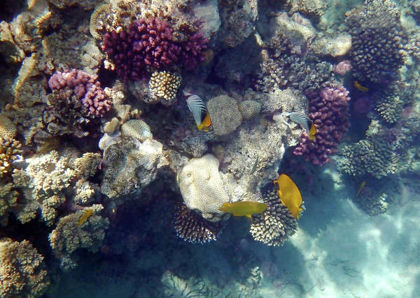 Photograph - Butterflyfish And Corals In The Red Sea by Johanna Hurmerinta