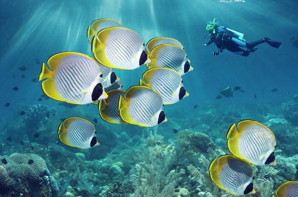 Underwater Photograph - Butterflyfish And Diver by Georgette Douwma