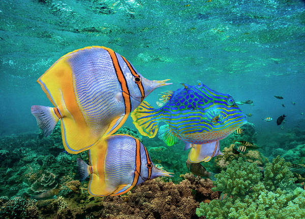 Wall Art - Photograph - Butterflyfish And Horned Boxfish, Coral by Tim Fitzharris